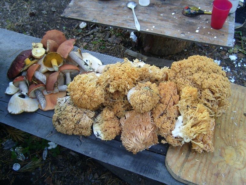 Оленьи рога гриб фото