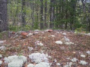 Белые грибы в Карелии фото