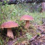 Как растут грибы в Карелии