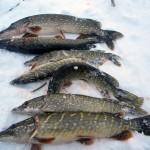Река Каспля, Смоленская губерния. Рыбалка в марте