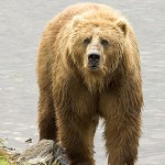 275px-Brown_Bear_us_fish