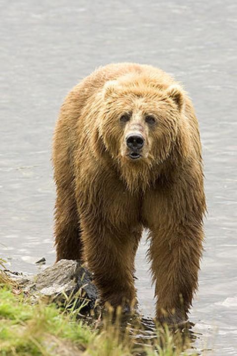 За медведями в Южно-Камчатском заказнике (Камчатский край) теперь можно понаблюдать в режиме онлайн