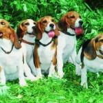 Клички гончих собак