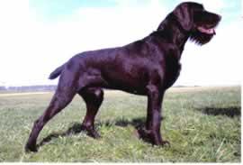 Клички легавых собак