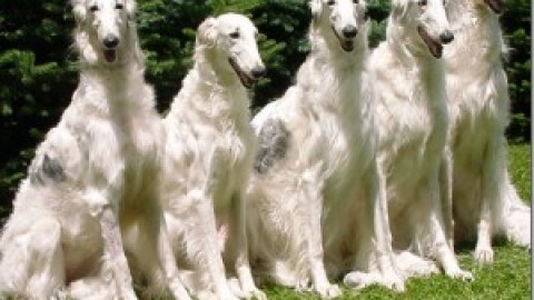 Клички борзых собак