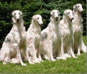 Клички охотничьих собак борзых
