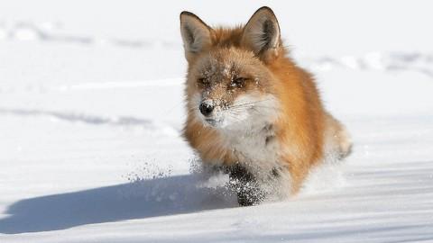 Способы охоты на лис в осенний и зимний период