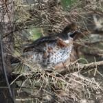 Охота на рябчика с манком в осенний и зимний период
