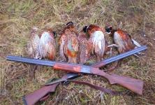 Способы охоты на фазана: с собаками, ловчими птицами и с подхода