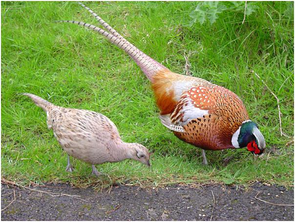 фазан с курицей