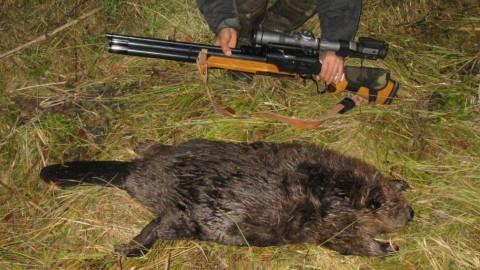 Эффективные способы охоты на бобра