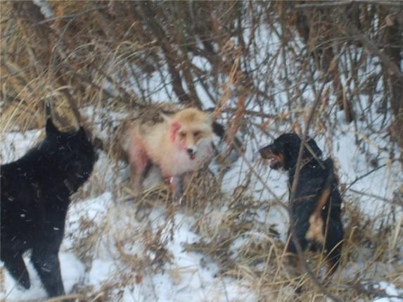 охота на лису с ягдтерьером