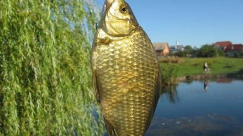 Ловля карася на удочку: как выбрать снасти и прикормить рыбу