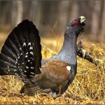 Основные способы охоты на глухаря осенью