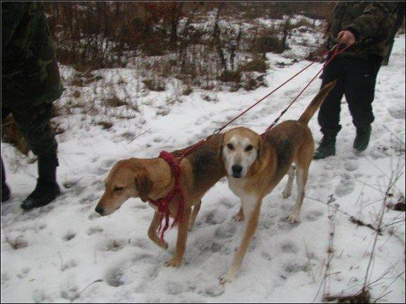 гончие собаки на снегу