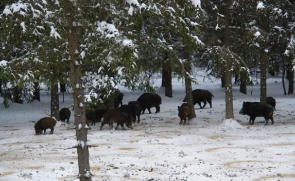 кабаны в лесу на снегу