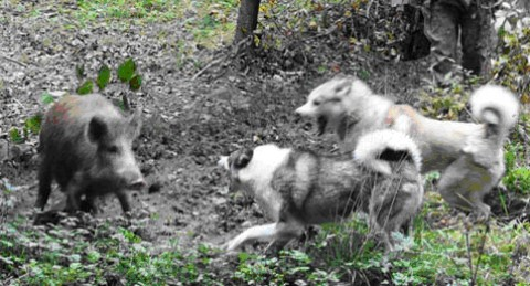 Способы и особенности охоты на кабана с собаками разных пород