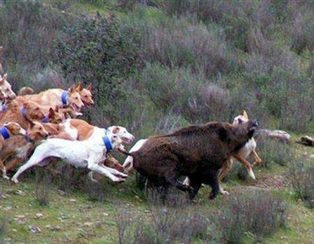 охота на кабана с гончими