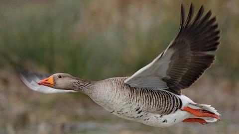 Образ жизни серого гуся и особенности охоты на него