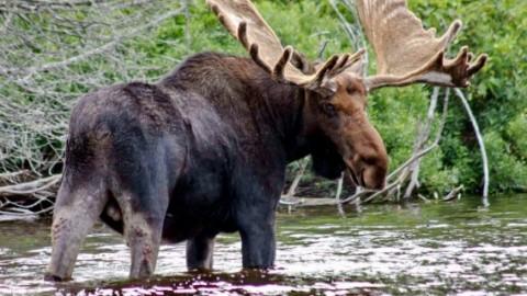 Эффективные способы охоты на лося в осенний и зимний период