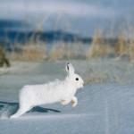 Секреты и способы охоты на зайца русака и беляка
