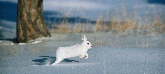 заяц беляк нка снегу