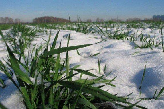озима в снегу