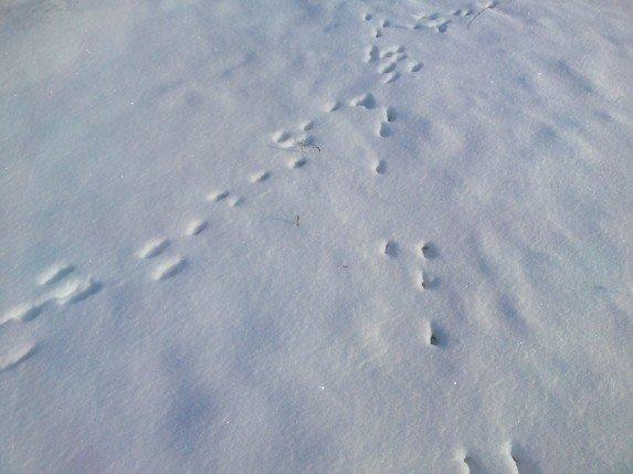 следы зайца пересекаются