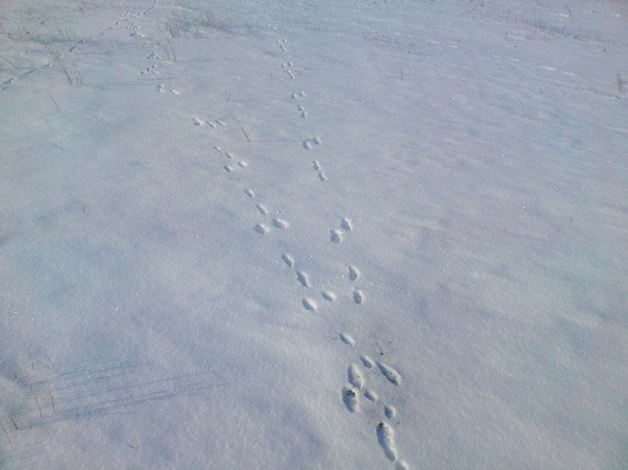 Учимся распутывать следы зайца на снегу или охота троплением