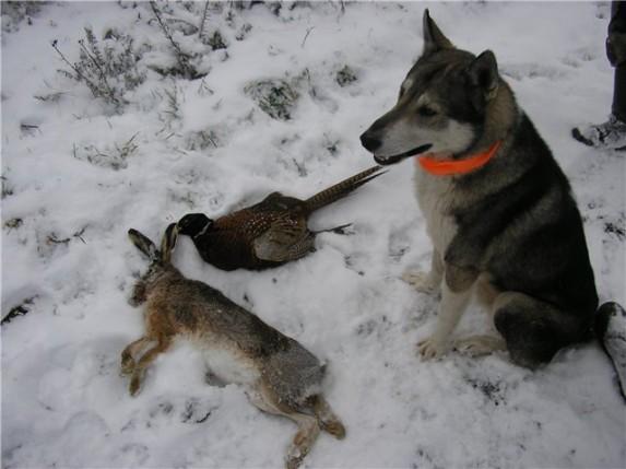 лайка и заяц на снегу