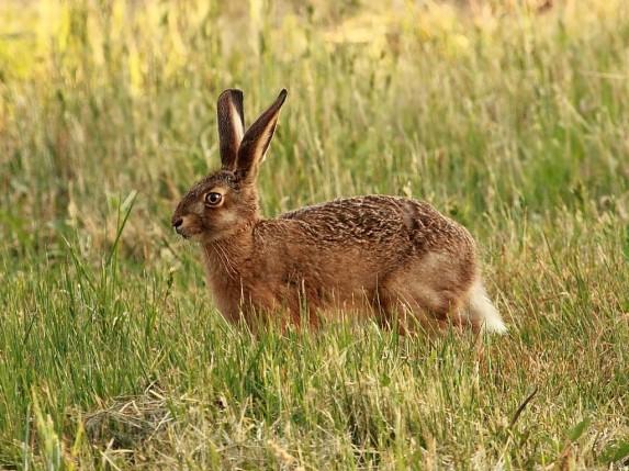 заяц русак в траве