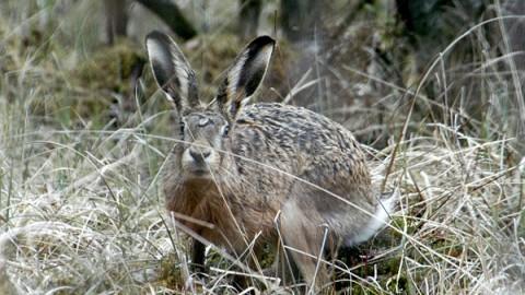 Как охотиться на зайца русака по чернотропу без собаки