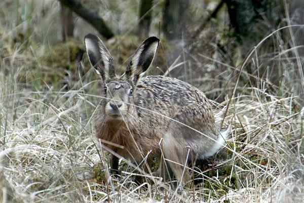Охота на зайца осенью без собаки окружающею среду, делать