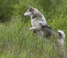 Особенности охоты с западно-сибирской лайкой