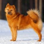 Особенности охоты с карело-финской лайкой
