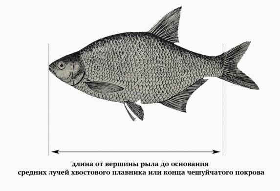Как измеряется размер рыбы от вершины рыла (при закрытом рте) до основания средних лучей хвостового плавника.